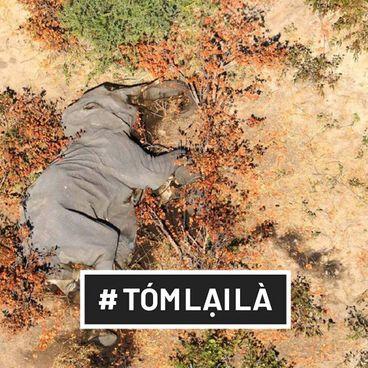 Tóm Lại Là: Hàng trăm chú voi đột tử — Đòn giáng xuống nỗ lực bảo tồn voi tại châu Phi